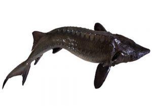 ماهی خاویار بلوگا