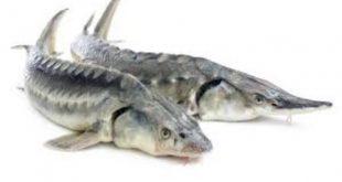 خرید ماهی خاویار خزر