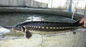 خرید ماهی قره برون