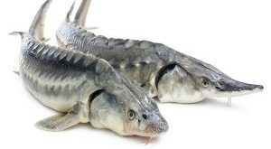 انواع ماهی شیپ درجه یک