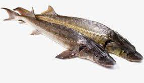 مرغوب ترین ماهی شیپ دریایی