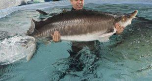 ماهی قره برون خلیج فارس