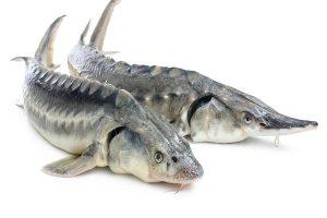 خرید ماهی بلوگا سیبری