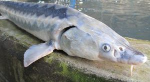 شرکت عرضه ماهی قره برون کوچک