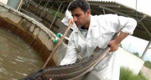 خرید و فروش ماهی قره برون