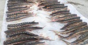 شرکت پخش ماهی قره برون