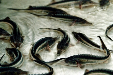 فروش خاویار فیل ماهی