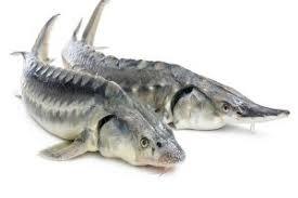 فروش ماهی استرا