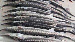 فروش انواع ماهی استرا