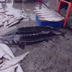 انواع ماهی ازون برون
