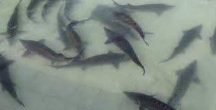 لیست قیمت ارزان ماهی شیپ