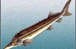 خرید مرغوب ترین ماهی شیپ دریای خزر