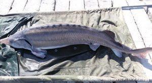 ماهی بلوگا بالغ
